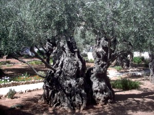 '2000-year-old olive tree in the Garden of Gethsemane
