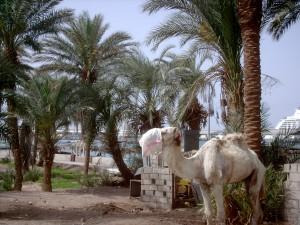 'Jordanian camel